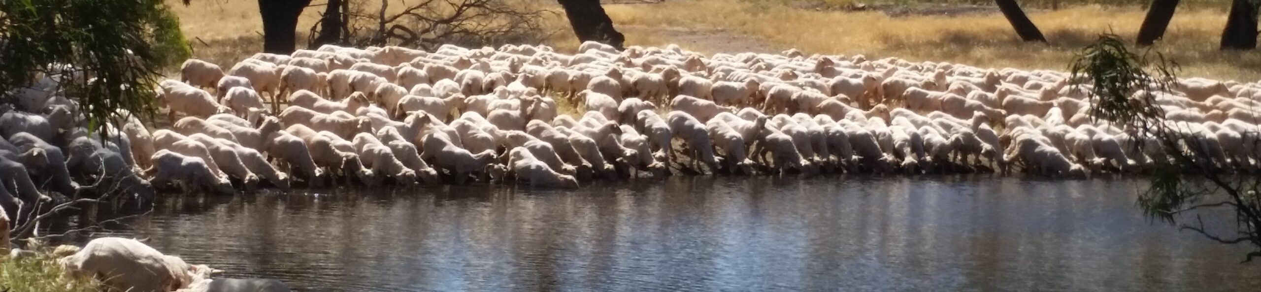 Banner Shorn ewe lambs